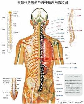 脊神经组成和分支结构示意图