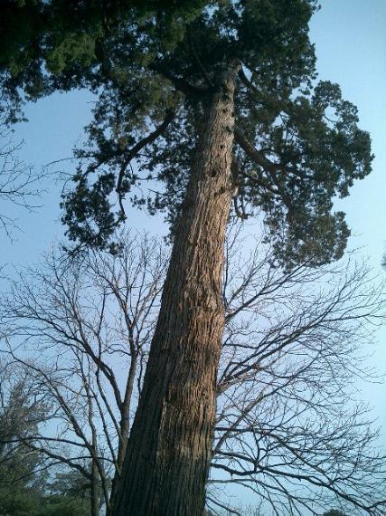 """因此,""""千年柏""""被视为寺内神树."""