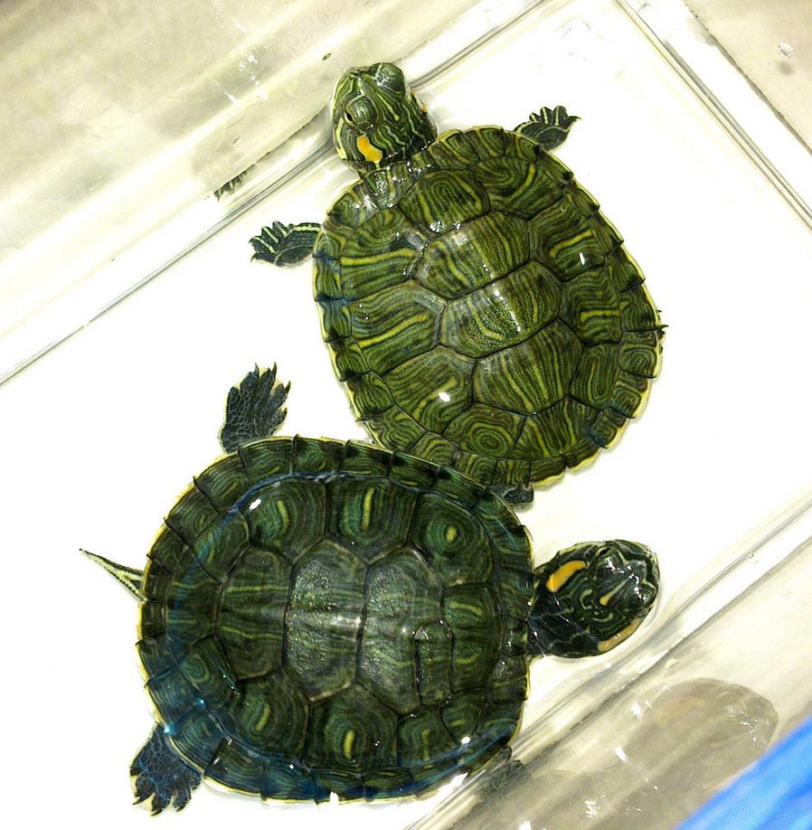 巴西龟_360百科