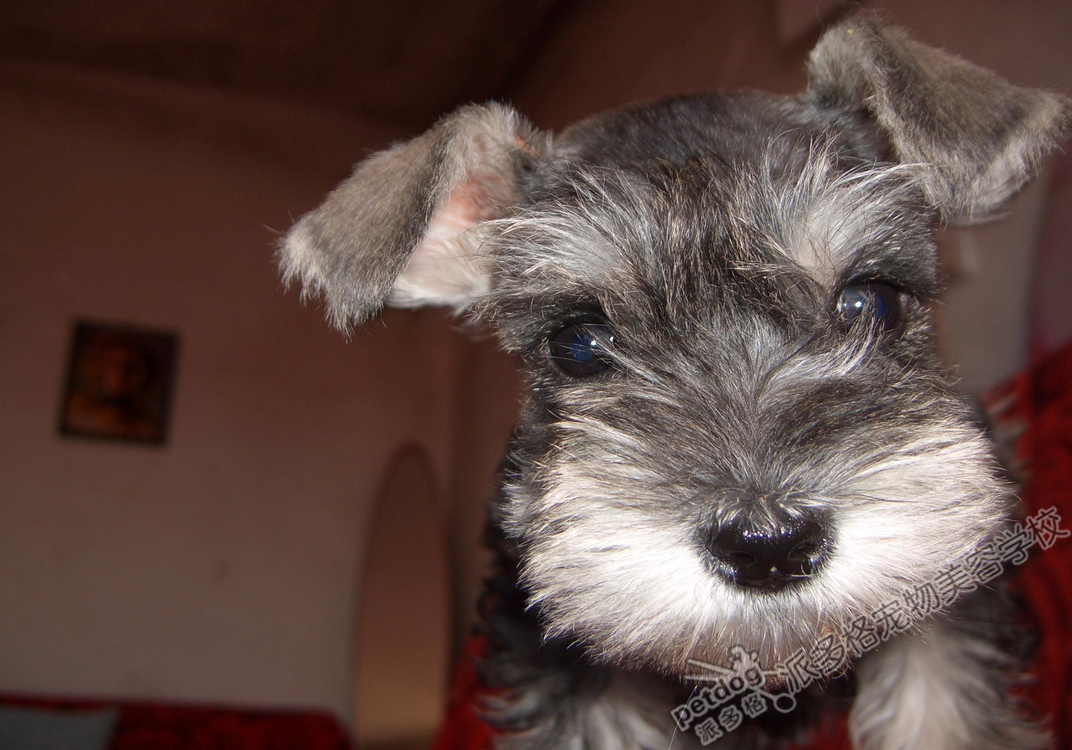 小型雪纳瑞犬_小型雪纳瑞犬_360百科