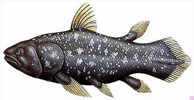 基本信息 中文学名:空棘鱼    英文名:coelacanth    界:动物界 门:脊